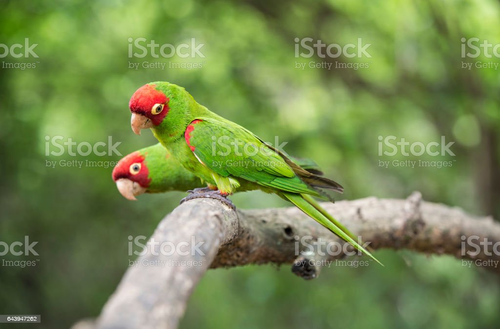 Red-masked parakeets – Foto