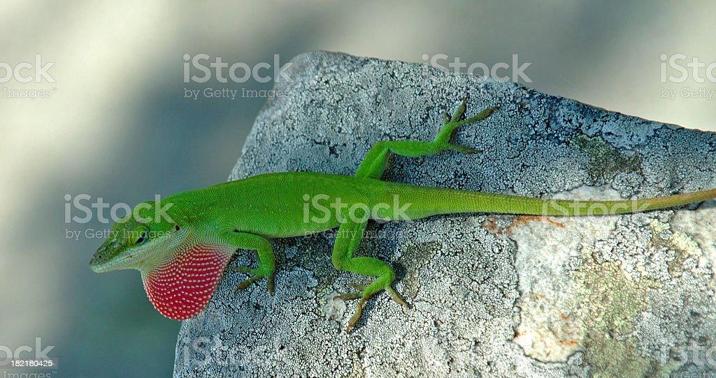 Redneck Reptile royalty-free stock photo