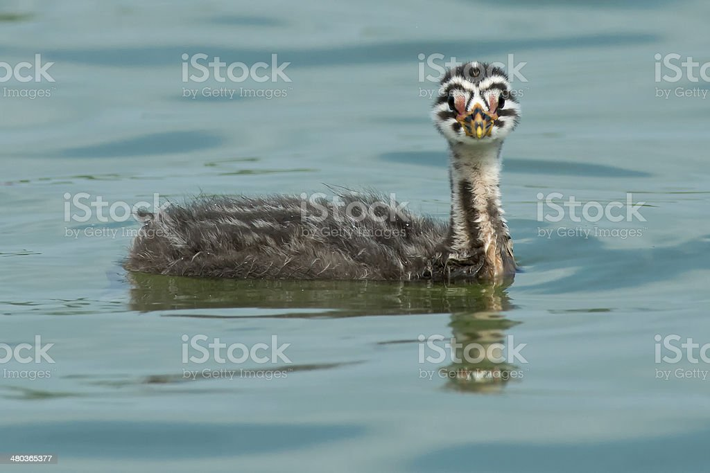Red-necked Grebe Chick stock photo