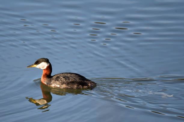 Red-necked Grebe (Podiceps grisegena) stock photo
