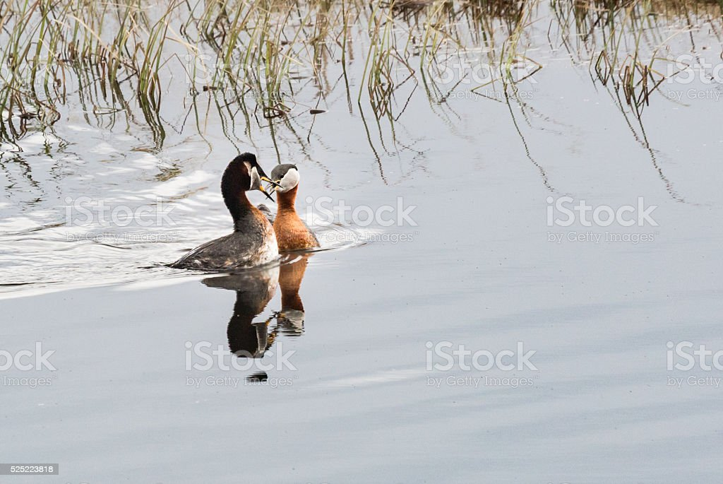 Red-necked grebes mating stock photo