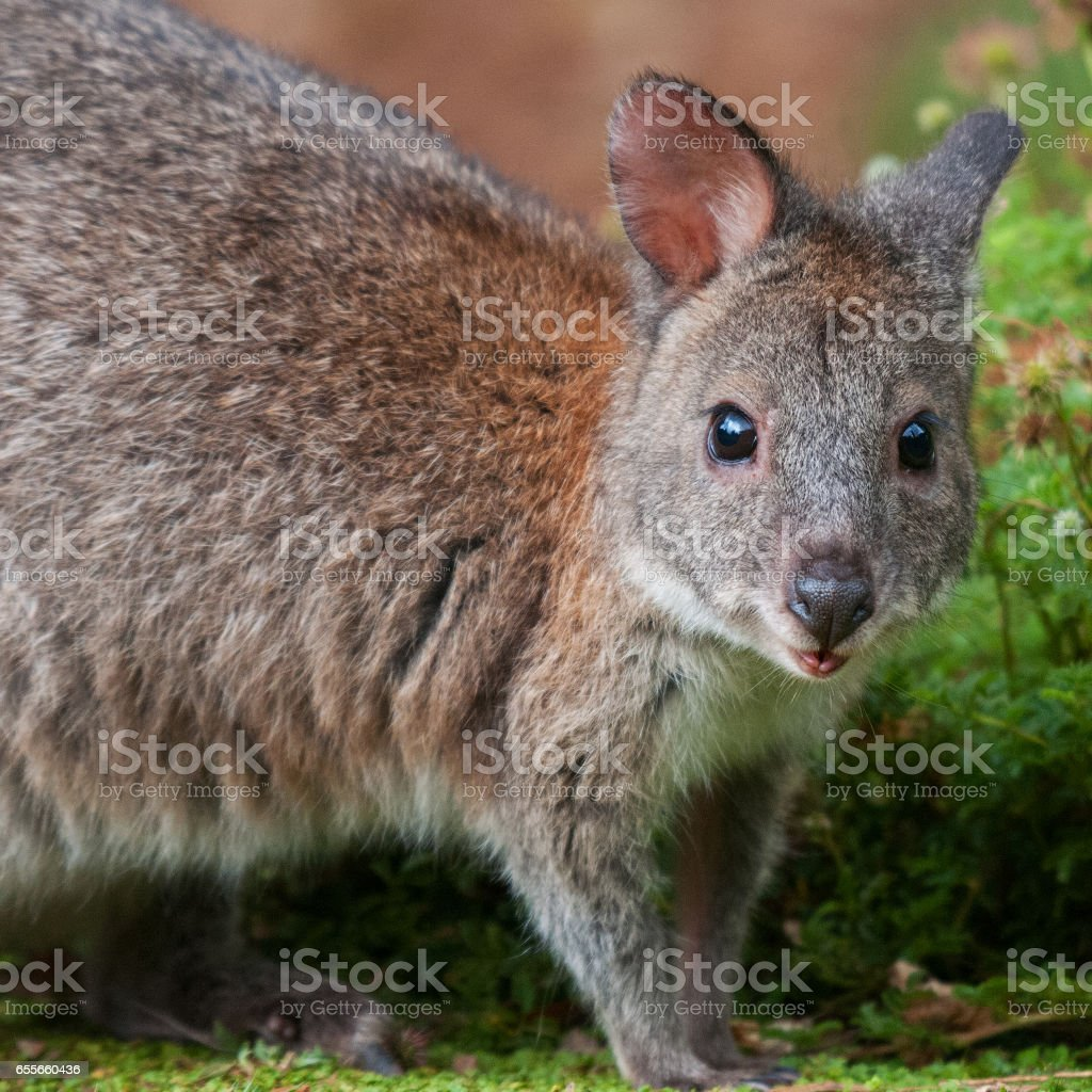 Red-necked Pademelon stock photo