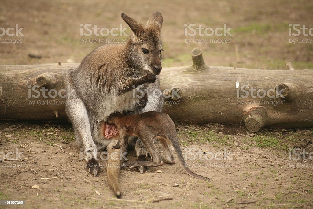 Red-necked wallabies stock photo