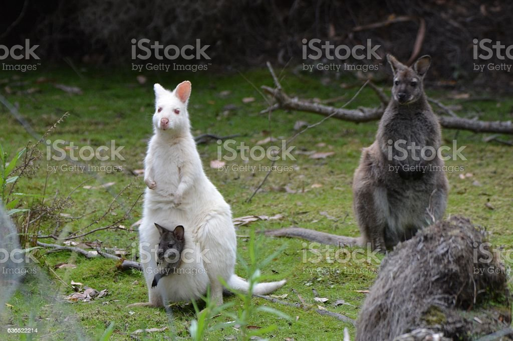 red-necked wallaby or Bennett's wallaby stock photo