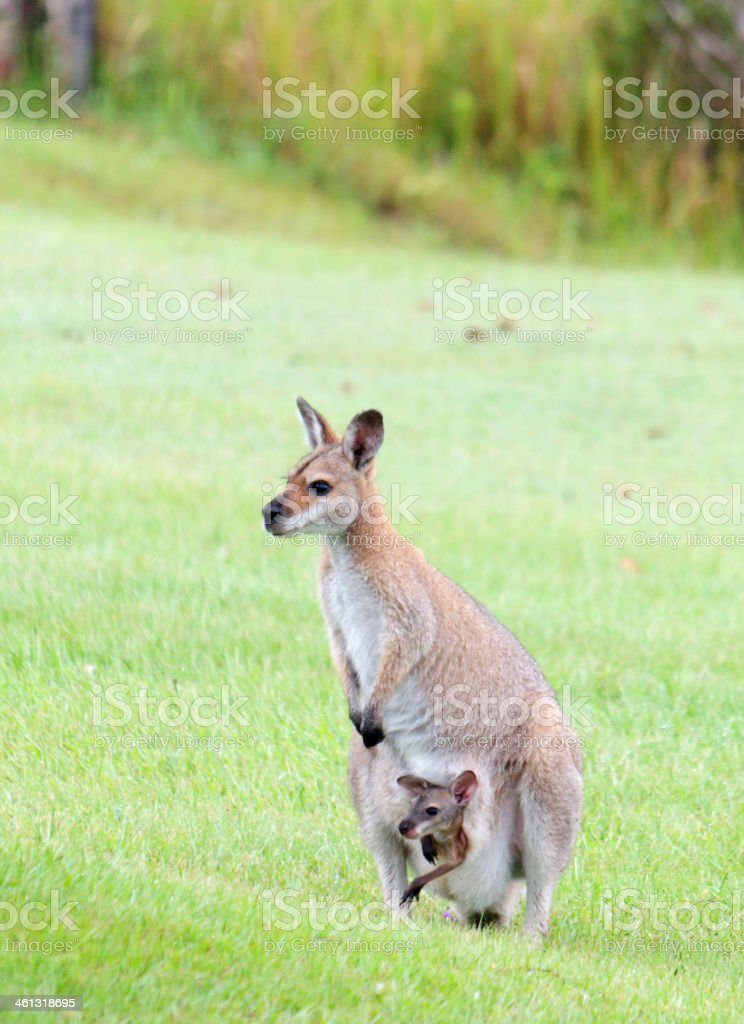 Red-necked wallaby with joey leaning out of the pouch stock photo