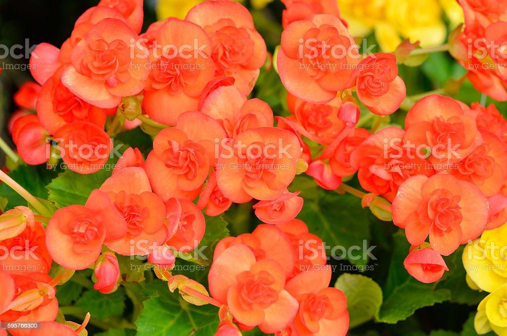 Red/Orange begonia flowers in garden foto
