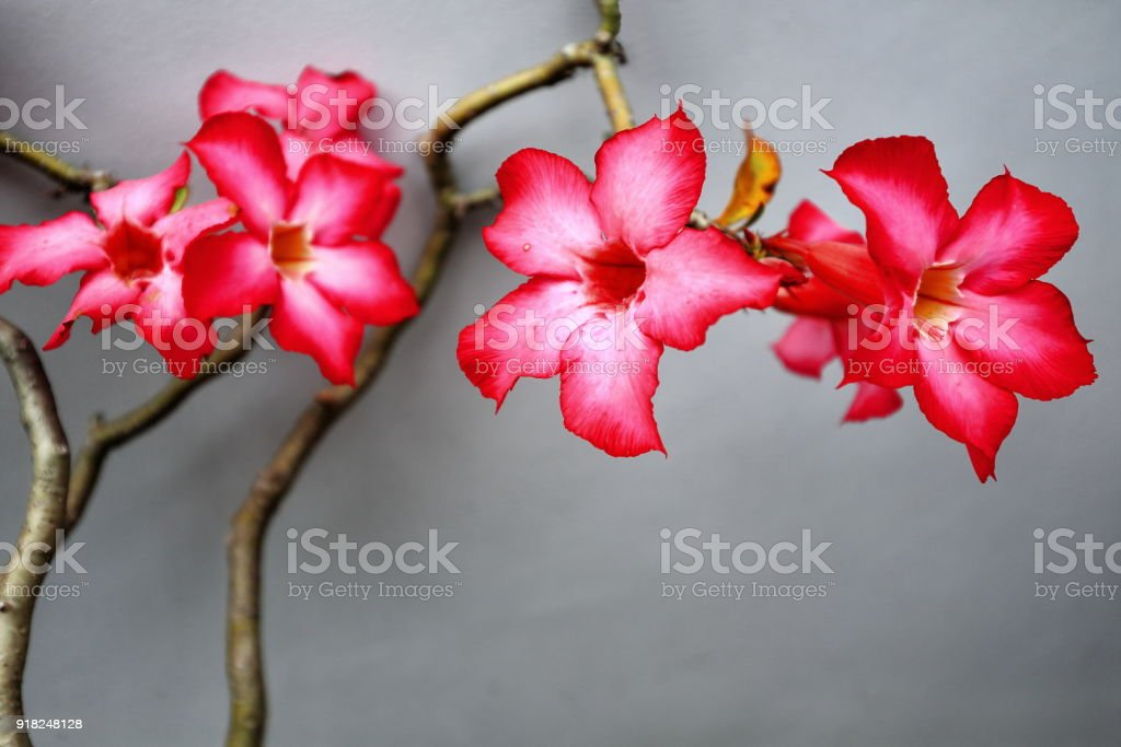 Red-pinkish desert rose flowers. Garden in Bontoc-Mountain province-Philippines. 0209 stock photo