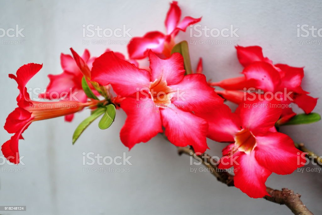Red-pinkish desert rose flowers. Garden in Bontoc-Mountain province-Philippines. 0211 stock photo