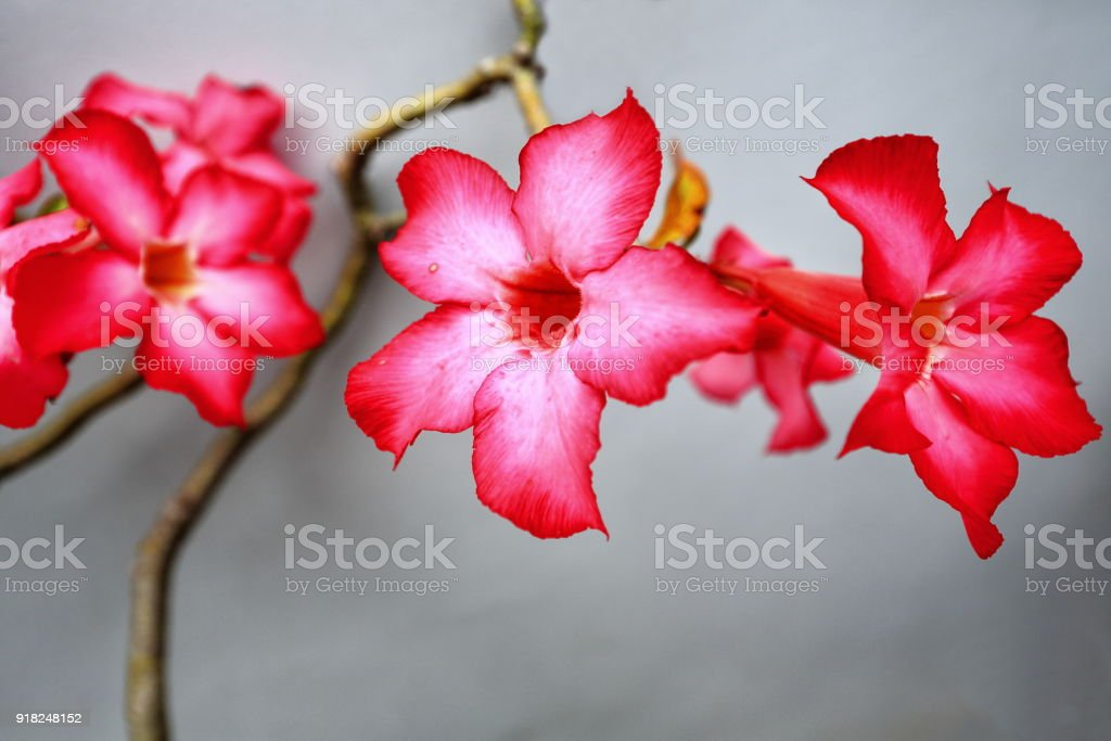 Red-pinkish desert rose flowers. Garden in Bontoc-Mountain province-Philippines. stock photo