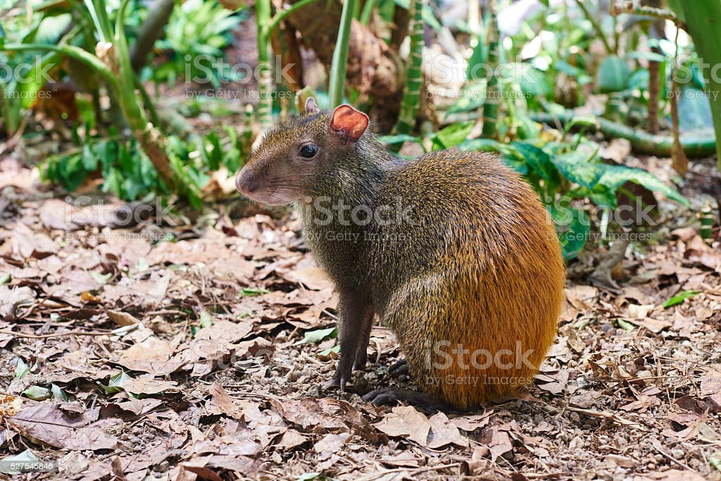 Red-rumped Agouti stock photo