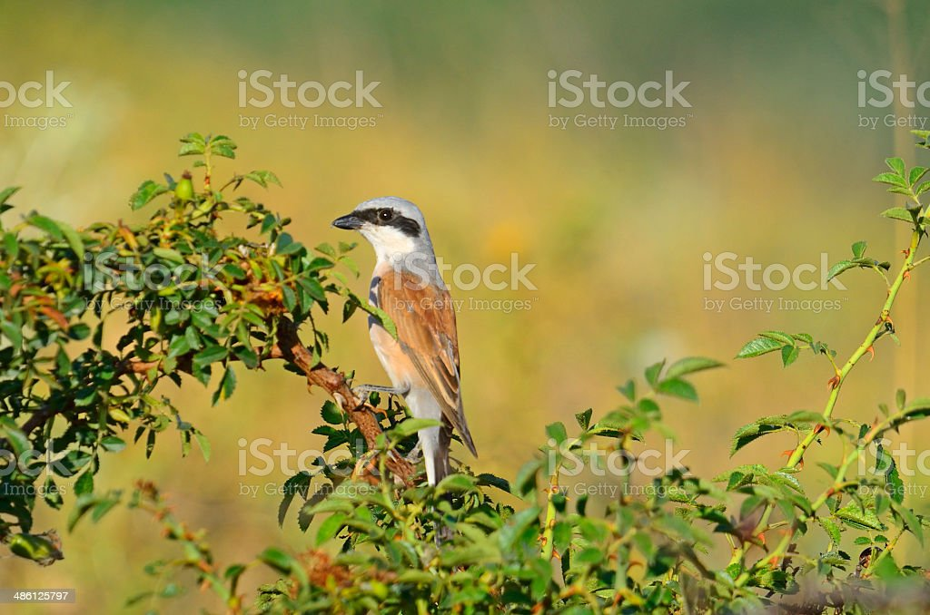 Redrumped shrike royalty-free stock photo