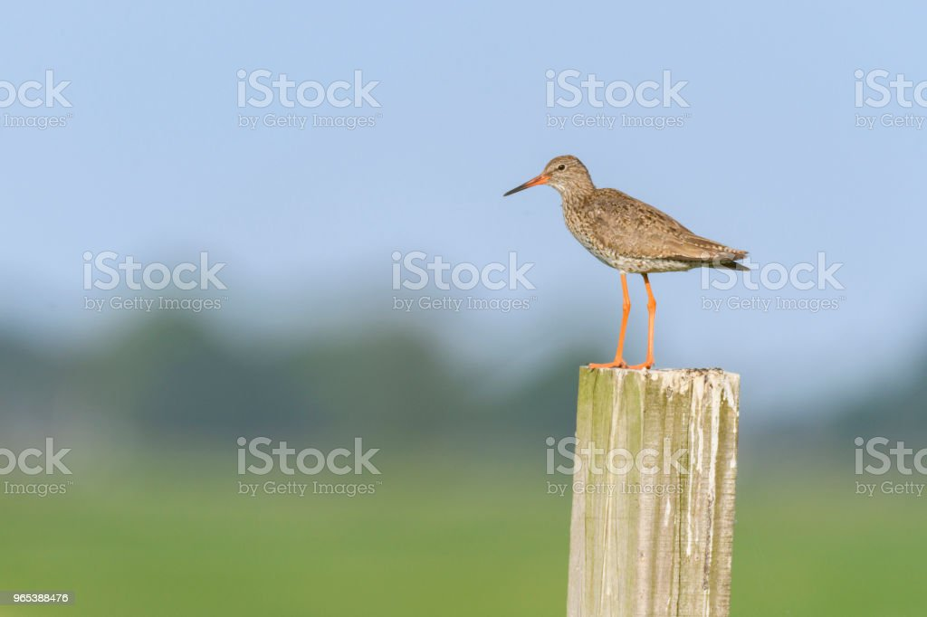 Redshank or Common Redshank sitting on a pole overlooking a meadow zbiór zdjęć royalty-free