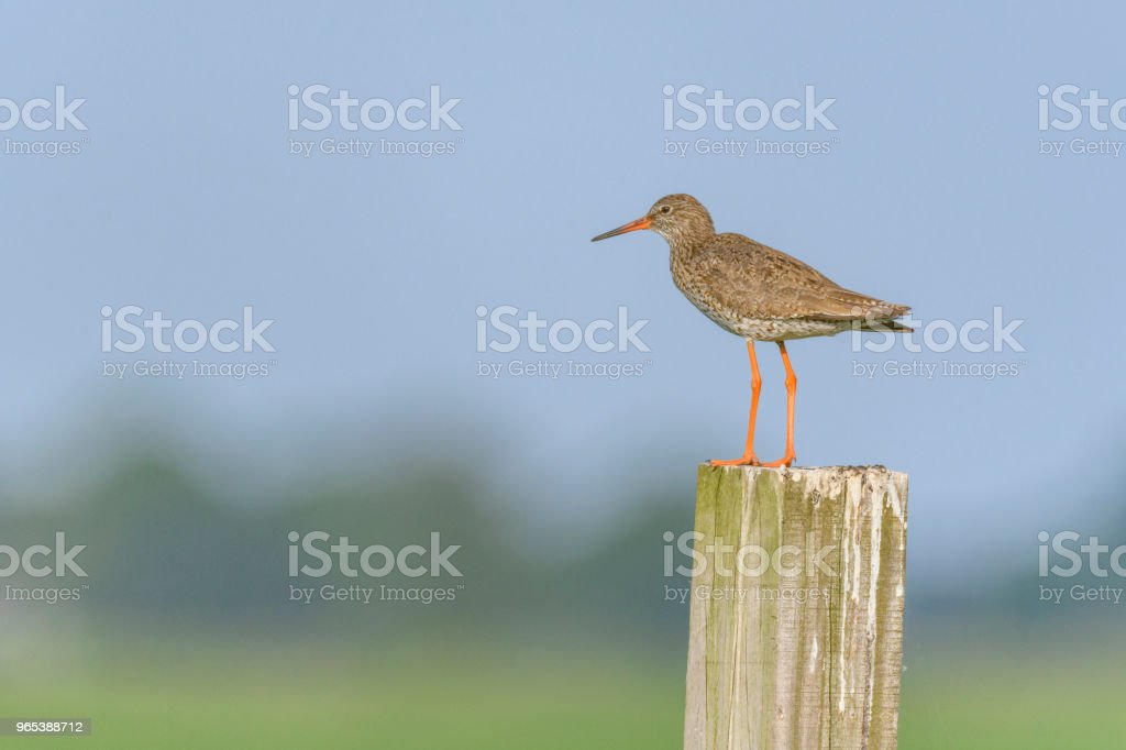 Redshank or Common Redshank sitting on a pole overlooking a meadow royalty-free stock photo