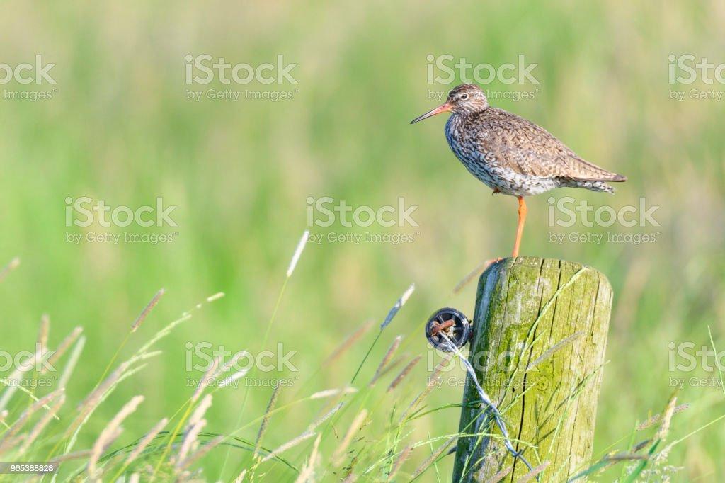 Redshank 或普通 Redshank 坐在一根俯視草地的柱子上 - 免版稅一隻動物圖庫照片