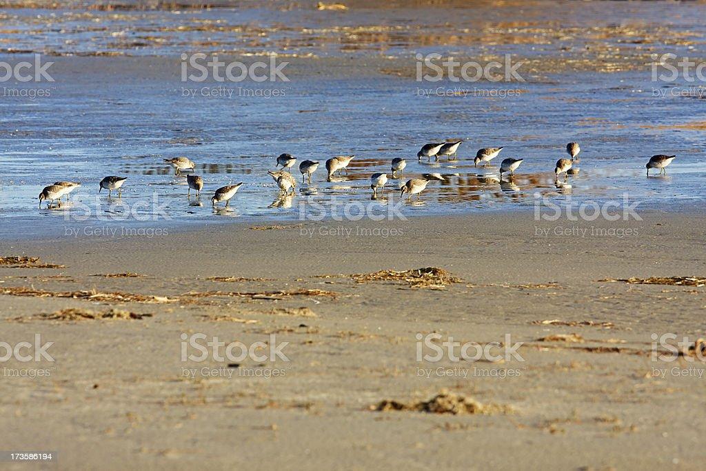 Redshanks feeding on the Waddensea royalty-free stock photo