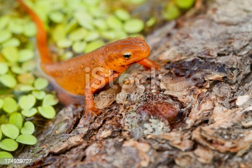 Red-spotted Newt Crawling out of Water