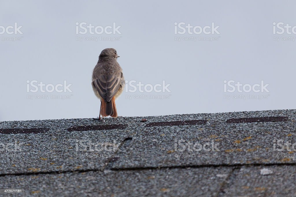 redstart on roof royalty-free stock photo