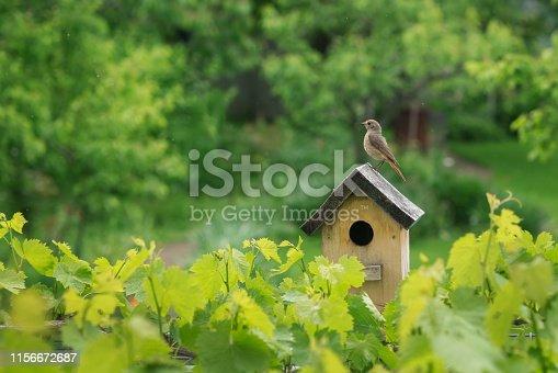 Redstart on the birdhouse in the rainy  green garden.