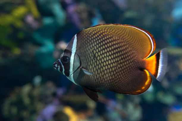 Redtail butterflyfish (Chaetodon collare) - coral fish stock photo