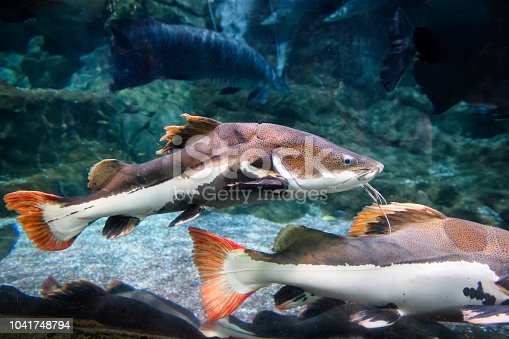 Redtail catfish (Phractocephalus hemioliopterus).
