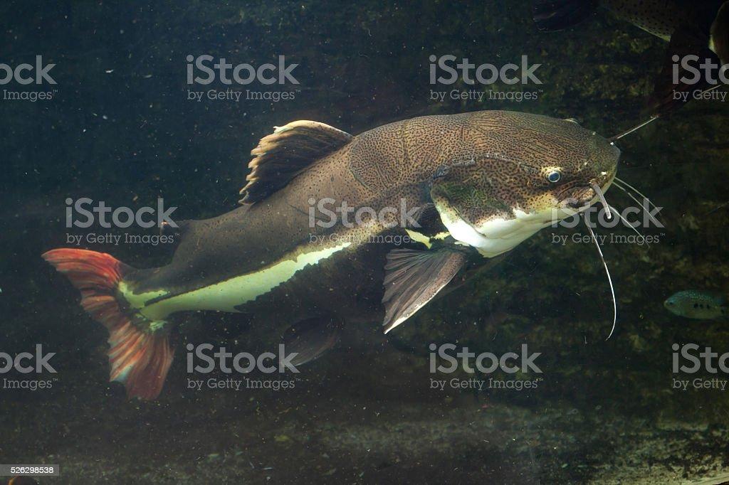 Guentheri peixe-gato (Phractocephalus hemioliopterus). - foto de acervo