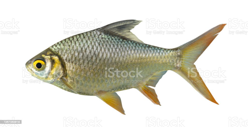 Red-tail Tinfoil Barb isolated on white background stock photo