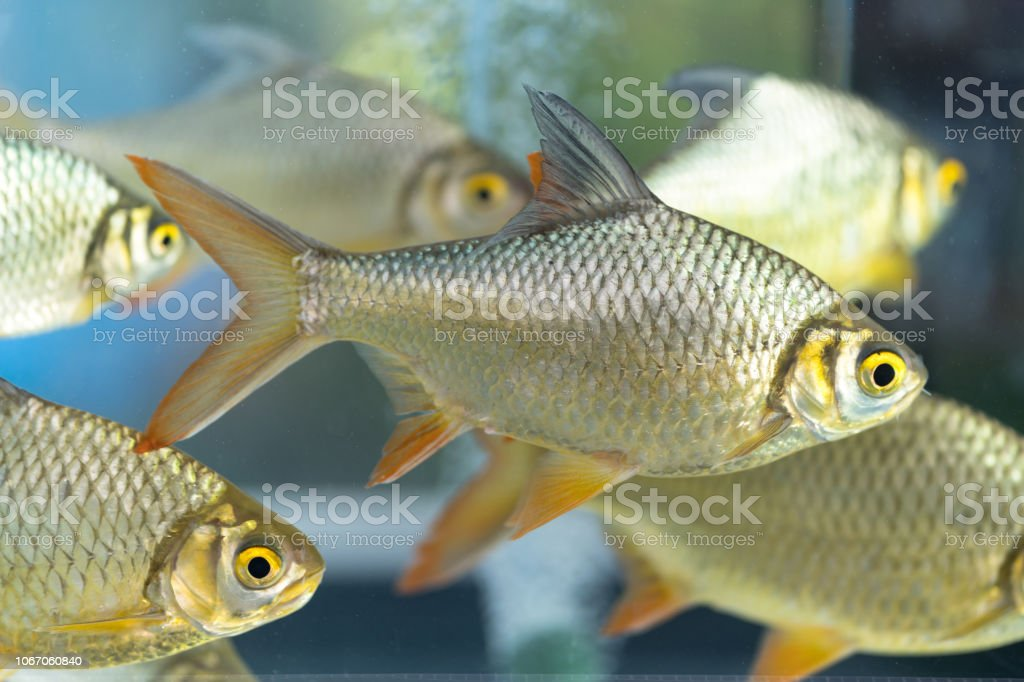 Red-tail Tinfoil Barb stock photo