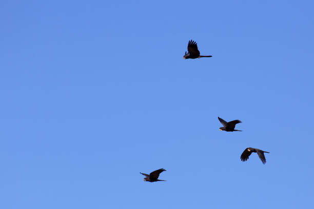 Red-tailed black cockatoos flying in a clear blue sky stock photo