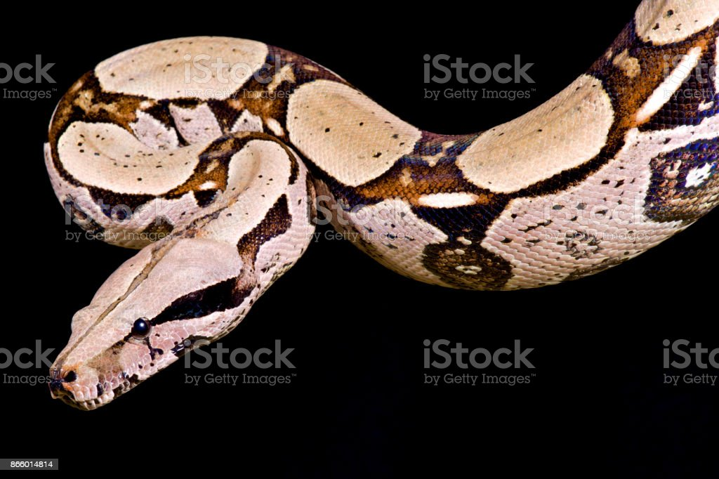 Redtailed Boa Boa Constrictor Imperator Stock Photo More Pictures