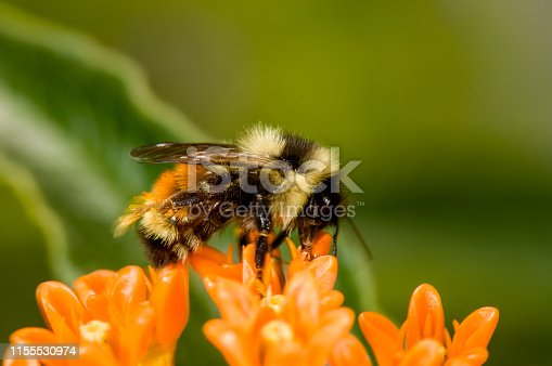 Red-tailed bumblebee on orange, glory flower with green background