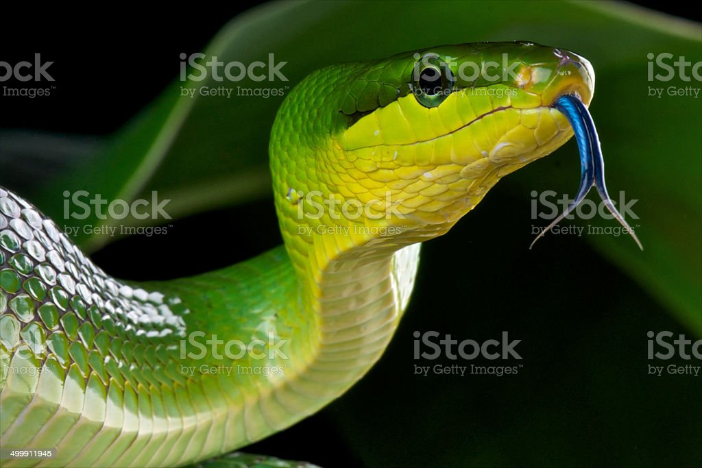 Red-tailed green rat snake / Gonyosoma oxycephalum stock photo