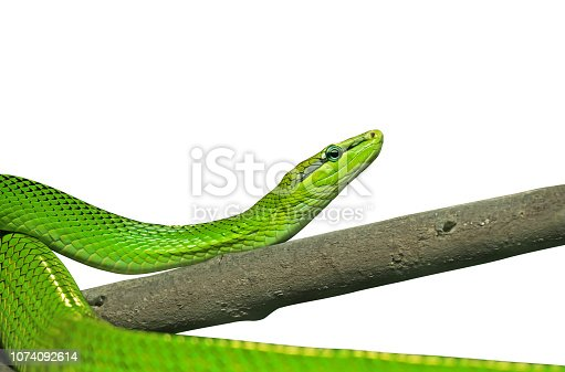 Closeup Red-Tailed Green Ratsnake Isolated on White Background with Clipping Path