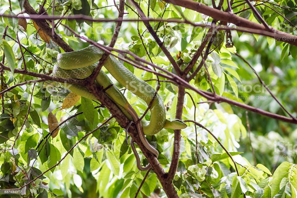 Red-tailed Green Ratsnake stock photo