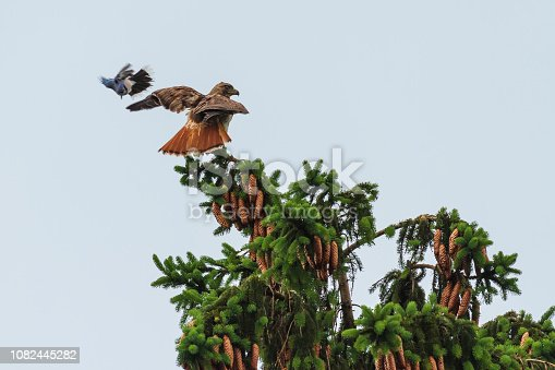 A Red-tailed Hawk at the top of a pine tree being attached by a Blue Jay.