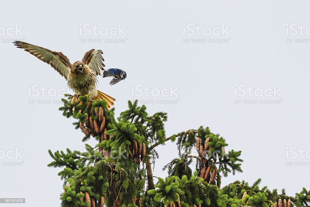 Red-tailed Hawk Being Attacked by a Blue Jay royalty-free stock photo