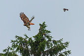 A Mockingbird chases a Red-tailed Hawk.