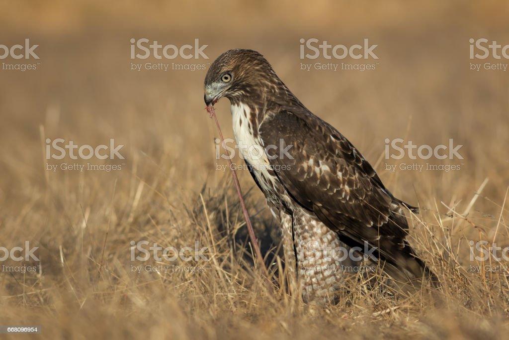 Red-tailed Hawk Feeding stock photo