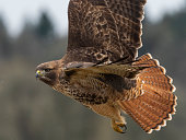 Red-tailed Hawk ( Buteo jamaicensis ) flying. Has wing spread open   - common in north america.\nCreative Brief - Nature and Wildlife.  iStock Creative Image  ID: 775225390