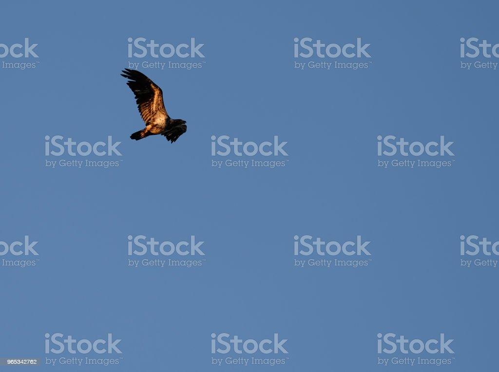 레드-꼬리 호크 푸른 하늘에서 비행 - 로열티 프리 0명 스톡 사진