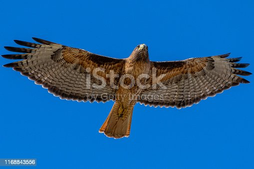 A California Red-Tailed Hawk in flight with wings spread.
