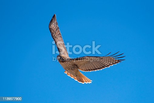 Red-tailed hawk flying overhead