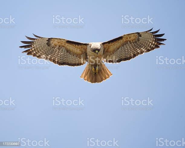 Redtailed hawk in flight picture id172233597?b=1&k=6&m=172233597&s=612x612&h=hw7aafpgozoauzdam82t5xv8ok1kss5fntymmdmd8py=