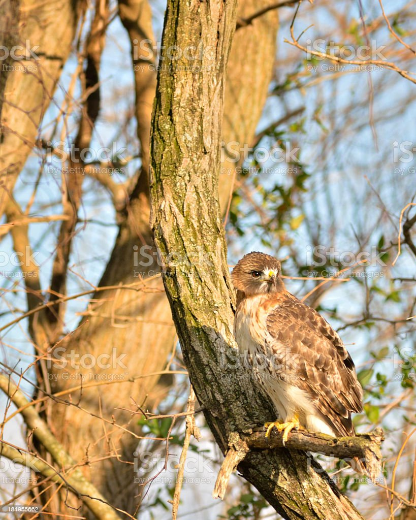 Red-tailed Hawk In Winter Light stock photo