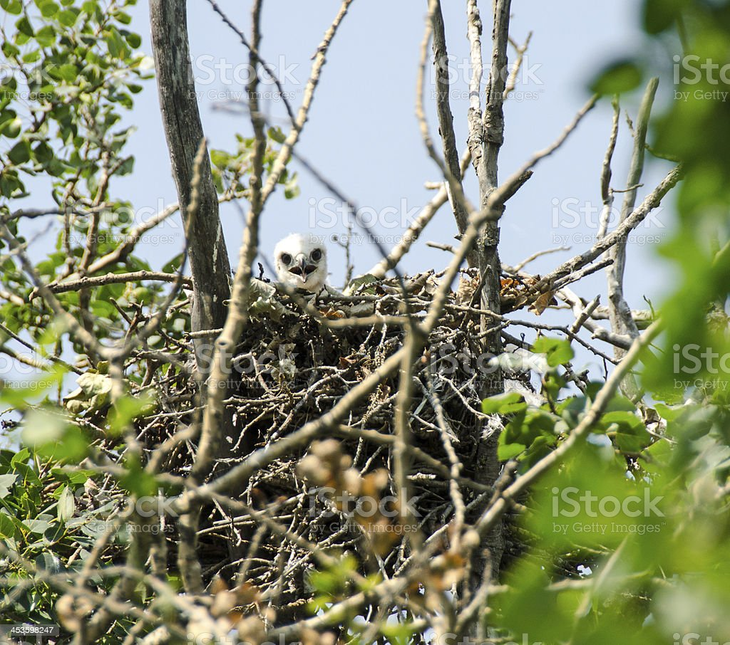 Red-Tailed Hawk Nest royalty-free stock photo