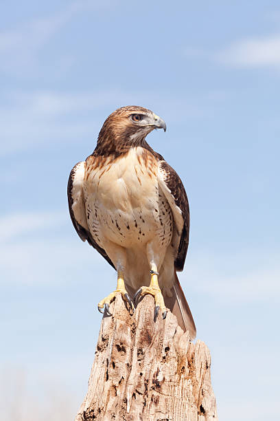 Red-tailed Hawk on a stump stock photo