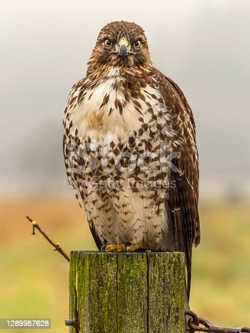 Red-tailed Hawk ( Buteo Jamaicensis ) sitting on a post. Is a very common raptor in North America, often seen perched alongside of roadways. Has fog in the background.