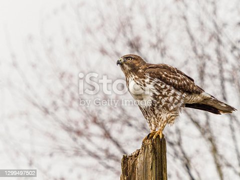 Red-tailed Hawk ( Buteo Jamaicensis ) on a top of a tree snag. Is a very common raptor in North America, often seen perched alongside of roadways. Has fog with faint detail of a tree in the background.