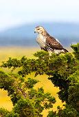 Red-tailed Hawk, Buteo jamaicensis, Parker River National Wildlife Refuge, Plum Island, Massachusetts