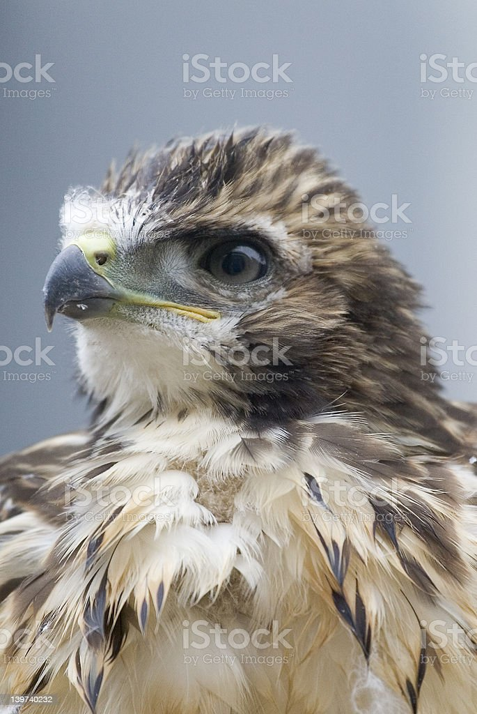 Red-tailed Hawk - Royalty-free Animal Stock Photo