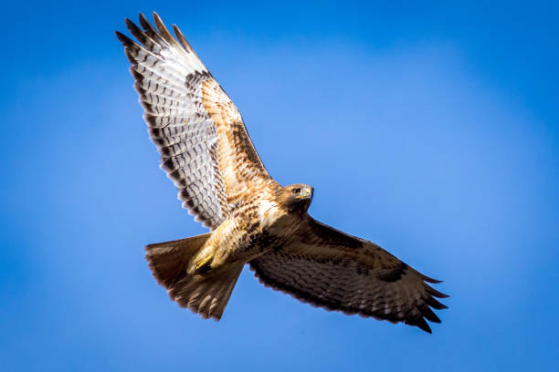 Red-tailed Hawk – Foto
